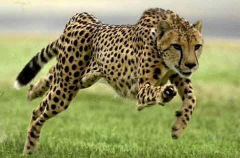 Leopardo corriendo